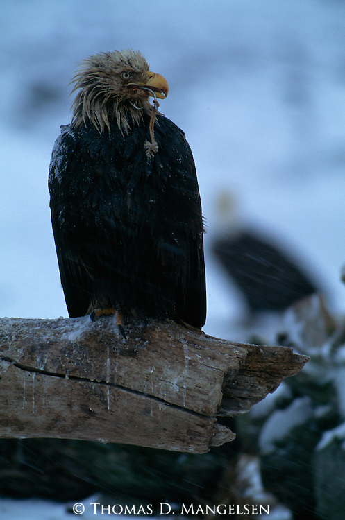 Close-up of a bald eagle perched on a log with a hook through it's beak.