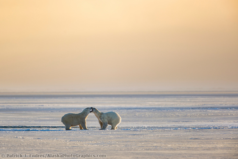 Polar bears on the newly formed sea ice on the Beaufort Sea along Alaska's Arctic Coast.