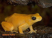 1102-07ss  Mantella aurantiaca - Golden Mantilla - © David Kuhn/Dwight Kuhn Photography