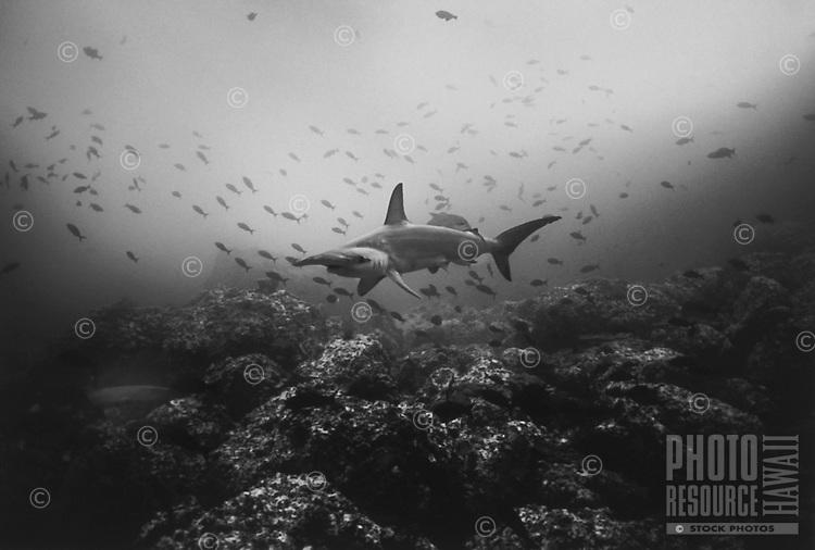 Hammerhead Shark and Whitetip Reef Shark, ocean, Costa Rica