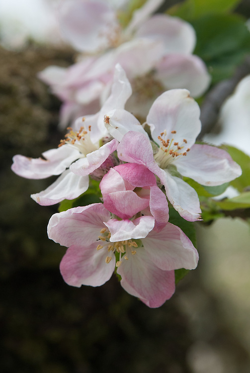 Blossom of Apple 'Scarlet Crofton', early May. A heritage dessert apple thought to have originated from Ireland back in the late 16th century. Named after the Crofton family of Longford House, County Sligo.