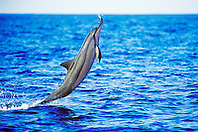 spinner dolphin, leaping, Stenella longirostris, Kona, Big Island, Hawaii, Pacific Ocean