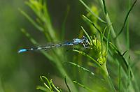 320140002 a wild female alkali bluet enellagma clausum perches on a small plant stem near dechambeau ponds in mono county california
