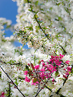 Cherry Blossoms. Hulda Klager Lilac Gardens, Woodland, Washington