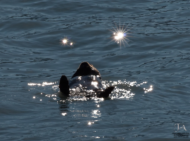 Sea otter blissfully floating in Alaska, with sparkling highlights make this a dream like photo. These otters are an endangered species.