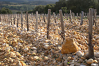 "Big rocks called ""tetes de mort"" head of dead people or skulls. Domaine Saint Sylvestre in Puechabon. Terrasses de Larzac. Languedoc. Vines trained in Gobelet pruning. Young Mourvedre grape vine variety. Terroir soil. France. Europe. Vineyard. Soil with stones rocks. Galets."