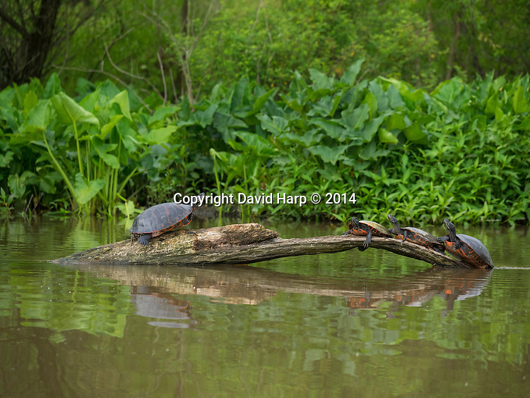Red bellied turtles  bask along the upper Tuckahoe