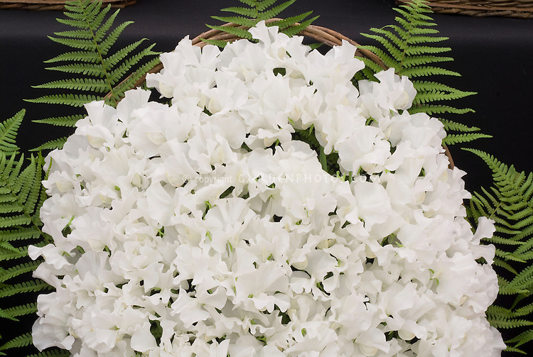 Sweetpeas white flowers in cut arrangement with ferns and basket, Lathyrus odoratus