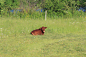 small beef calf lying in hay in pasture