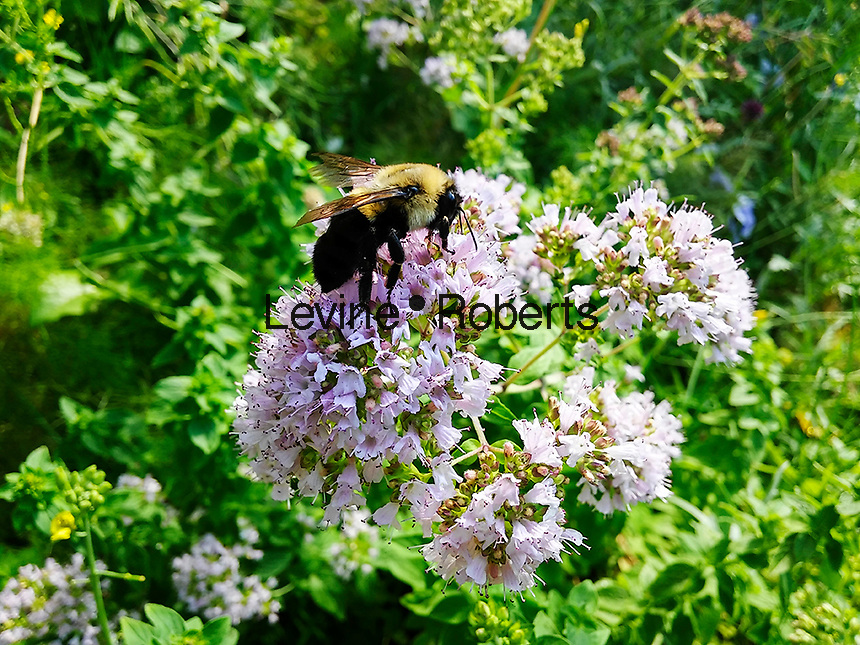 A bee pollinates an oregano plant which has been left to flower in a community garden in New York on Friday, June 24, 2016. Out of the 90 crops that supply 90 percent of the world's food supply bees pollinate 71 of those crops.  (© Richard B. Levine)