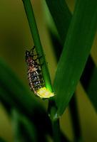 Glow-worm - Lampyris noctiluca female glowing