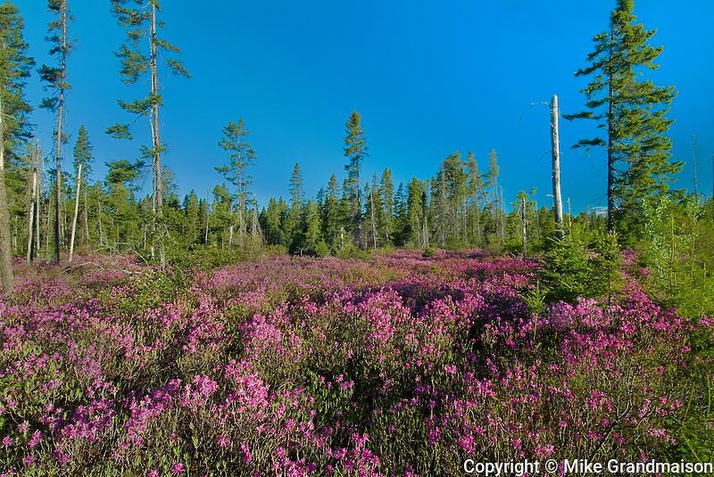 Bog laurel and spruce trees (Kalmia polifolia)<br /> Miramichi<br /> New Brunswick<br /> Canada