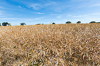 Desiccated OSR almost ready for harvest - Norfolk, July