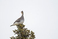 Sharp-tailed grouse perched on the top of a black spruce tree in Alaska's Arctic.