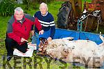 John Hoffman  Sheep Farmer Liosardbouls, Farmers Bridge shows Pat O'Shea IFA kerry Branch the two of his sheep that were killed on Sunday evening.