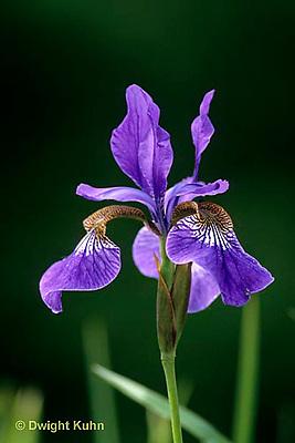 HD07-008x  Purple Siberian Iris - Iris sibirica