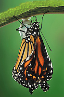 MONARCH BUTTERFLY life cycle..Drying wings on Joe-Pye Weed..North America. Danaus plexippus.