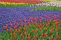Pattern of tulips and grape hyacinth flowers, Keukenhof Gardens; Lisse; Netherlands, Holland