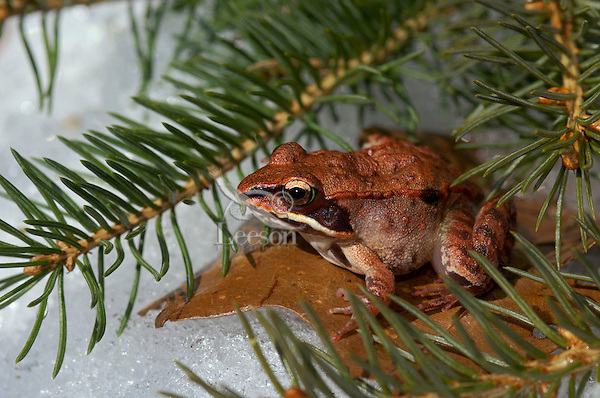 Wood Frog in Spring thaw..Most northerly amphibian in world..Oak leaves. Nova Scotia, Canada..(Rana sylvatica.)