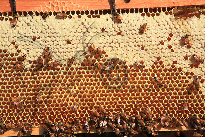 Two bees on a comb with cells full of honey fill their crops with the precious nectar.