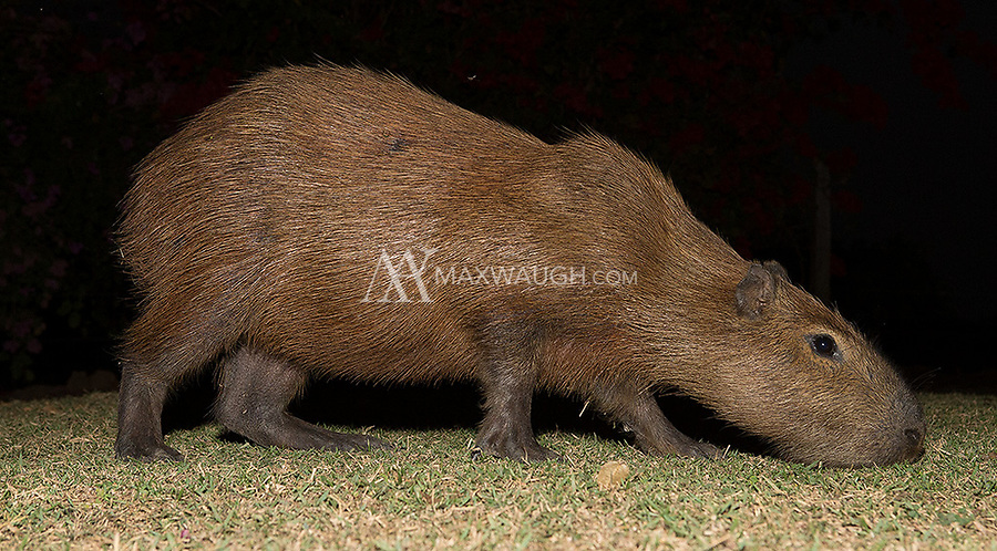 The capybara is the world's largest rodent species. This one was grazing on the grounds of one of our hotels in the Pantanal.