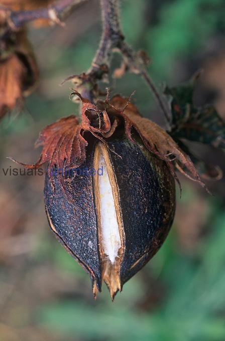 Cotton boll opening ,Gossypium hirsutum,.