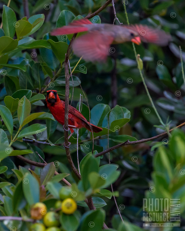 Two Northern Cardinals, one in flight, Big Island of Hawai'i.