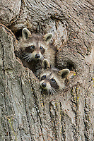 Pair of young Raccoons emerging from tree cavity, Procyon lotor, Minnesota