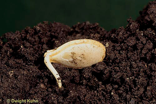 HS24-126b  Pumpkin - germinating seed