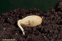 HS24-126b  Pumpkin - germinating seed