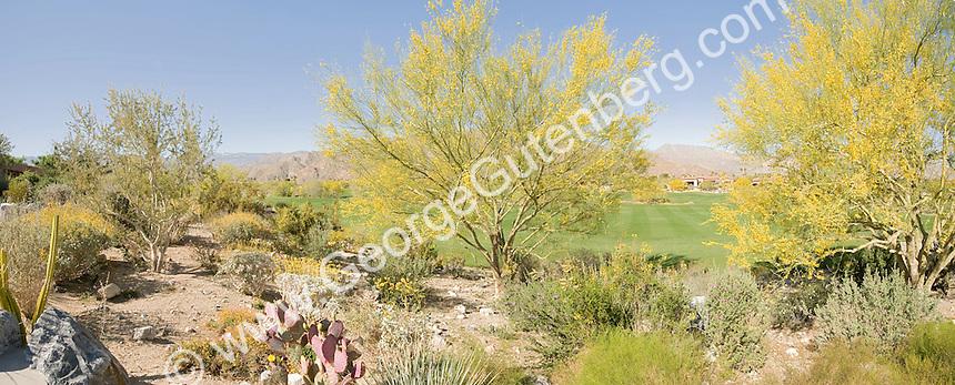 Palo Verde trees