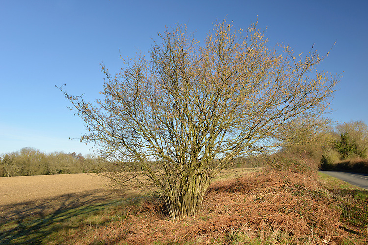 Hazel - Corylus avellana Betulaceae - winter. Height to 6m. Multi-stemmed shrub, or short tree. Bark Smooth, shiny, peeling into papery strips. Branches Upright to spreading. Twigs with stiff hairs, buds oval and smooth. Leaves Rounded, to 10cm long, hairy above; heart-shaped base and pointed tip. Margins double-toothed. Reproductive parts Male catkins to 8cm long, pendulous and yellow. Female flowers red and tiny; produce hard-shelled nuts. Status Common, often coppiced.