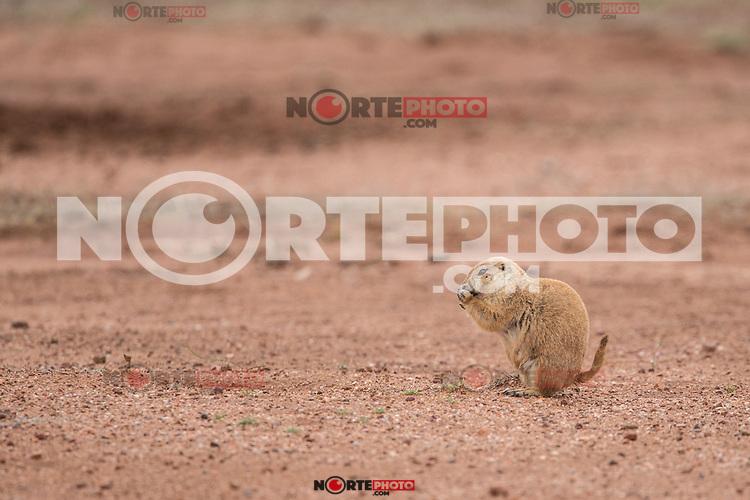 The civil association Naturalia, try relocating the existing colony last prairie dogs in the state of Sonora, in an effort to preserve this species. They are currently in a cattle field, they will take them to the grounds of Rancho los Fresnos is a private property of this AC dedicated to the conservation of wildlife.<br /> <br /> Ultima colonia de Perritos de la pradera en el noroeste de M&eacute;xico. <br /> <br /> ****<br /> <br /> Asociaci&oacute;n civil  Naturalia, intentara reubicar la ultima colonia existente de perritos de la pradera en el estado de Sonora, en un esfuerzo por preservar esta especie. Actualmente se encuentran en un terreno ganadero, ser&aacute;n trasladarlos a los predios del Rancho los Fresnos que es una  propiedad privada de esta AC dedicada a la conservaci&oacute;n de la vida silvestre.