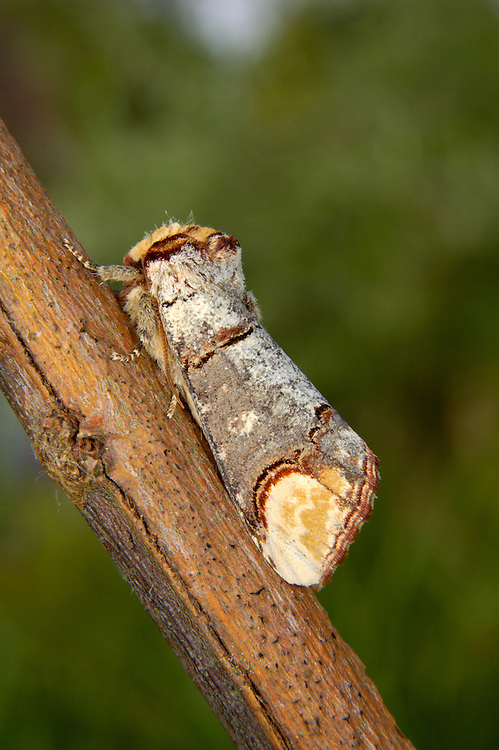 Buff-tip Phalera bucephala Length 25mm. An interesting moth whose markings and rolled-wing resting posture give it the appearance of a snapped twig. Adult has a buff head and silvery-grey wings with a buff patch at the tip. Flies May–July. Larva is yellow and black, with bristly hairs. Feeds on deciduous trees including oaks and limes. Widespread and common in lowland Britain.