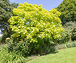 Royal Horticultural Society gardens at Hyde Hall, Essex, England, UK Indian bean tree leaves