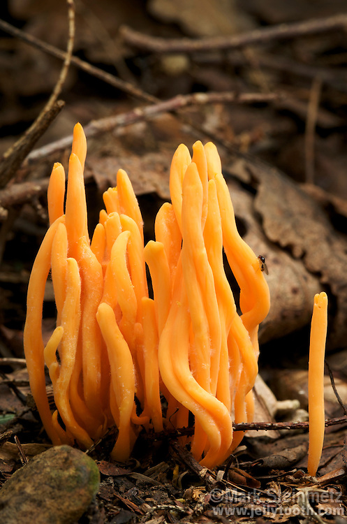 Orange Spindle Coral mushrooms (Clavulinopsis aurantio-cinnabarina). Growing from ground in hemlock forest, Hocking State Forest, Ohio, USA. Synonym is Clavaria aurantio-cinnabarina.