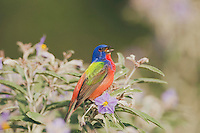Painted Bunting (Passerina ciris), male singing on Silverleaf Nightshade (Solanum elaeagnifolium), Sinton, Corpus Christi, Coastal Bend, Texas, USA