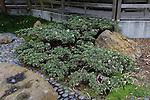 JUNIPERUS CHINENSIS 'EXPANSA AUREOSPICATA' AT JAPANESE GARDEN, VARIEGATED JUNIPER