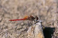 Frühe Heidelibelle, Männchen, Sympetrum fonscolombii, Red-veined Darter, Nomad, male