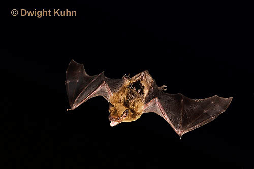 MA20-835p  Big Brown Bat flying at night, Eptesicus fuscus, Digitally manipulated background, otherwise photograph had minor retouching