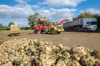 Cleaning & loading sugar beet with a new CTM cleaner - Suffolk, September