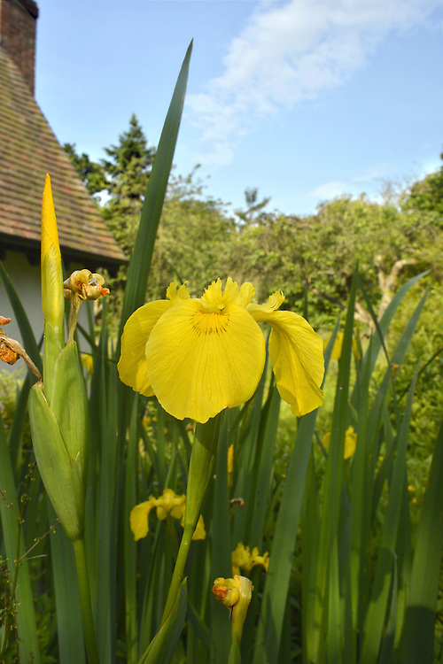 YELLOW IRIS Iris pseudacorus (Iridaceae) Height to 1m. Familiar and robust perennial that grows in pond margins and marshes, and on river banks. FLOWERS are 8-10cm across and bright yellow with faint purplish veins; borne in clusters of 2-3 flowers (May-Aug). FRUITS are oblong and 3-sided. LEAVES are grey-green, sword shaped and often wrinkled. STATUS-Widespread and common throughout.