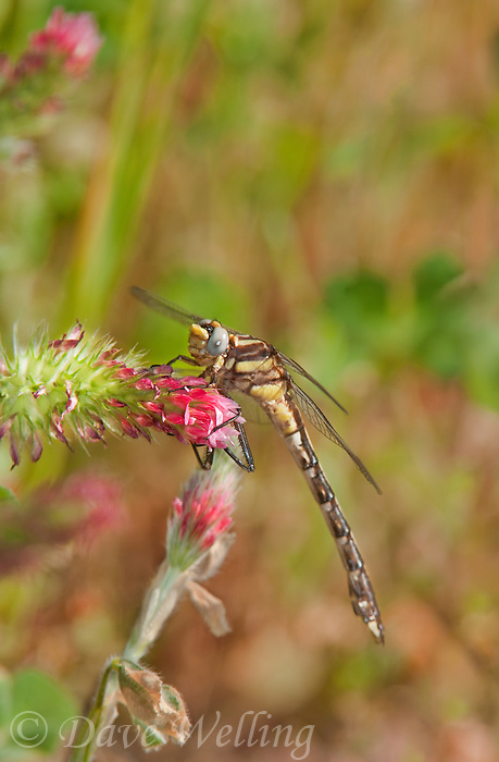 333910007 a wild teneral male cocoa clubtail dragonfly gomphus hybridus perches on crimson clover wildflower trifolium incarnatum in jasper county texas