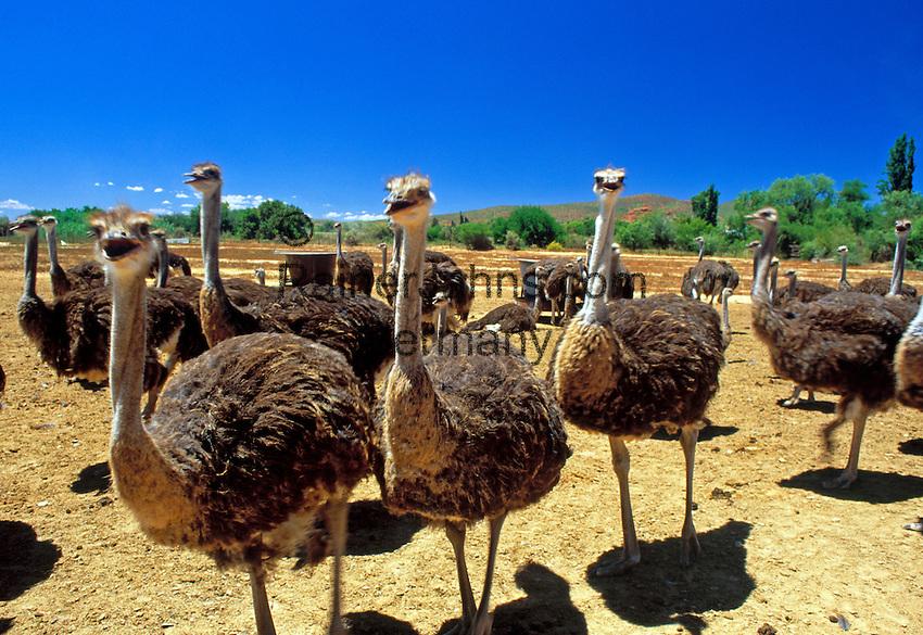 South Africa, Southern Cape, near Oudtshoorn: Safari Show Ostrich Farm