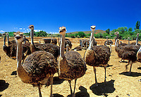 South Africa, Southern Cape, near Oudtshoorn: Safari Show Ostrich Farm