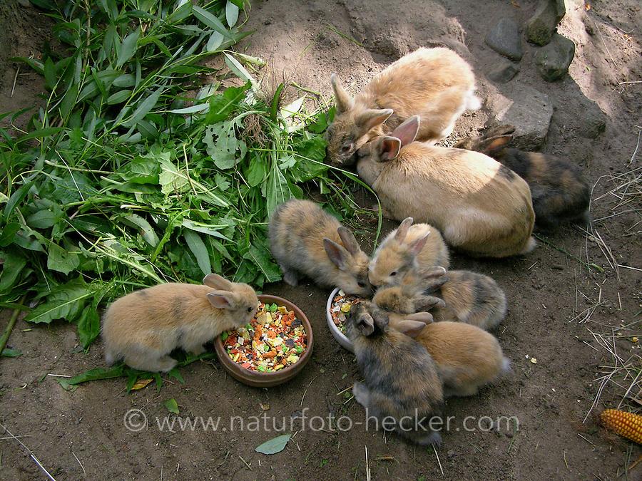 Zwergkaninchen, Zwerg-Kaninchen, Familie frisst frisches Grünzeug und Kaninchenfutter, dwarf rabbit