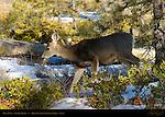 Mule Deer Doe in Winter, Black-tailed Deer, Odocoileus hemionus, Sunrise Point, Bryce Canyon National Park, Utah