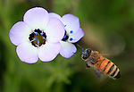 A bee buzzes around a wild flower in Bear Valley California.