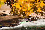 Fall colors and kayaker in Reno whitewater park in downtown Reno, NV. Photo Scott Sady/TahoeLight.com