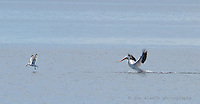 The Pelicans of Lac La Biche are superb flyers and swimmers also capable of comic relief...